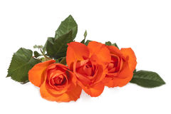 Three Bright Orange Roses on Green Leafy Stems. Three isolated bright orange roses on green leafy stems Royalty Free Stock Photography