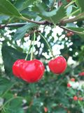 Three Bright Red Cherries. Three bright red sour cherries hang off of a branch ready to be eaten on a summer's day Royalty Free Stock Photography