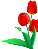 Three bright red flowers tulips with green leaves Royalty Free Stock Images