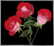Three bright red roses on black Stock Photography