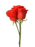 Three bright red roses. Stock Photo