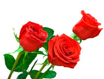 Three bright red roses on white background Stock Images