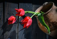Red tulips in ancient clay pot. Three bright red tulips in an old clay pot, photographed in direct sunlight stock images