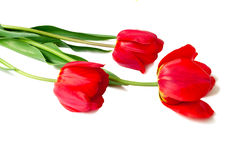 Three bright red tulips on a white background. Royalty Free Stock Photo