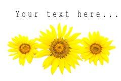 Three bright sunflowers Stock Photo