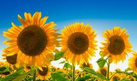 Three sunflowers against blue sky Stock Image