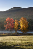 Three Brightly Colored Maple Trees in Autumn in Catskill Mountains. Dawn light raking across three brightly lit Maple trees in the Catskill Forest Preserve with Royalty Free Stock Image
