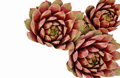 Three Brightly Coloured Sempervivums on White Background. Three brightly colored succulents on a white background with space for copy Royalty Free Stock Photography