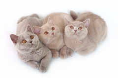 Three British cat . Stock Photos