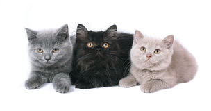 Three British kitten. Three British kitten isolated on white background Stock Photography