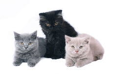 Three British kitten. Stock Photo