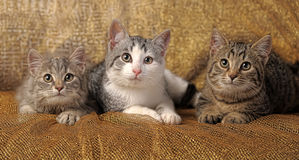 Three British kitten. Lying on a gold background Stock Photo