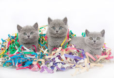 Three British kitten with Christmas tinsel. Three British kitten with Christmas tinsel on a white background Stock Photos