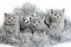 Three British kitten with Christmas tinsel. Three British kitten with Christmas tinsel on a white background Royalty Free Stock Photo