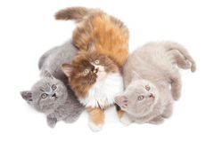 Three British kittens. Studio portrait  of three cute playful British kittens  lying on isolated white background Stock Photos
