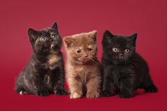 Three british kittens. On dark red background Royalty Free Stock Images
