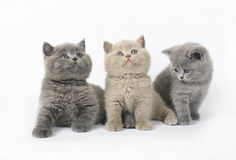 Three British kittens on white Royalty Free Stock Photos