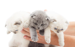 Three British lop-eared kitten Stock Photography