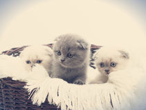 Three British lop-eared kitten. In straw basket Stock Images