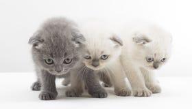 Three British lop-eared kitten Stock Photos