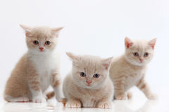 Three  british short hair kitten on white. Isolated Royalty Free Stock Photography