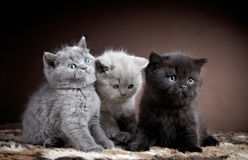 Three british short hair kittens. On brown background Royalty Free Stock Photo