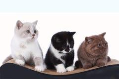 Three british shorthair kitten sitting on a cat scratching post Stock Photo