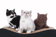 Three british shorthair kitten sitting on a cat scratching post Royalty Free Stock Photos