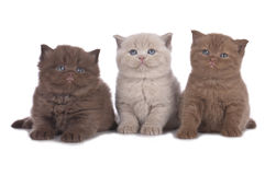 Three british shorthair kitten sitting in a row Stock Photography