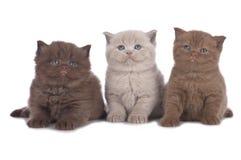 Three british shorthair kitten sitting in a row Stock Photography