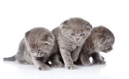 Three british shorthair kittens. isolated on white background.  Royalty Free Stock Photo