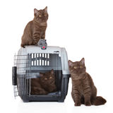 Three british shorthair kittens with a pet crate Royalty Free Stock Photos