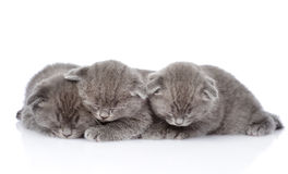 Three british shorthair kittens sleeping. isolated on white. Backround Stock Photography