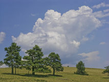 Three brothers. Pine-trees and yellow grass under blue sky with a big white cloud Royalty Free Stock Image
