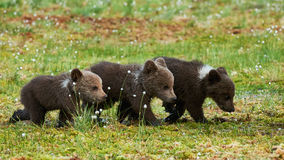 THree Brown bear cubs. Three little brown bear cubs walking in a row in the taiga from Finland Stock Image