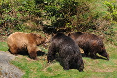 Three brown bears in conflict. Photo taken in nature reserve Bayerischer wald,Germany,Europe Royalty Free Stock Photography