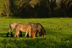 Three brown grazing Brabantian horses in nature. Three brown Brabantian horses grazing in a meadow with trees behind in Bourgoyen nature reserve, Ghent, Belgium Stock Images