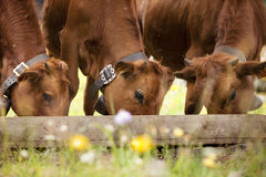 Three brown calfs eating Royalty Free Stock Images