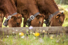 Three brown calfs eating Stock Photos