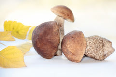 Three brown cap boletus and twig of birch Stock Photos