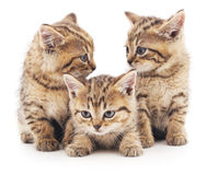 Three brown cats. Royalty Free Stock Photos