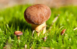 Three brown cep mushroom in green moss Royalty Free Stock Images
