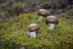 Three brown champignons mushrooms Agaricaceae on green Moss. In the nature stock photos