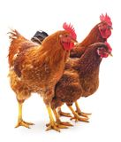 Three brown chickens. Three brown chickens on a white background royalty free stock images