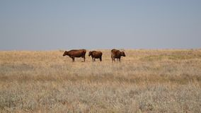 Three brown cows grazing on pasture in field. In late summer stock footage