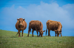 Three brown cows on a hill. Two eat grass and one stares at viewer Stock Image