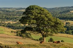 Three brown cows lie underneath a lone tree at sunset stock photo