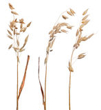 Three brown dry ears of oat isolated on white Stock Image