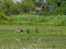Three Brown Ducks Royalty Free Stock Photo