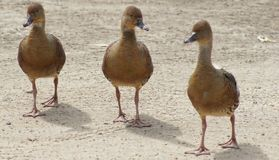 Three Brown Ducks. In a row waddling down the road Royalty Free Stock Images